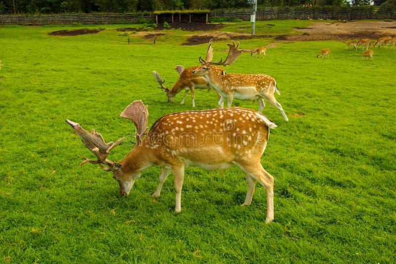 Trois cerfs communs affrichés en parc de Kadzidlowo photographie stock libre de droits
