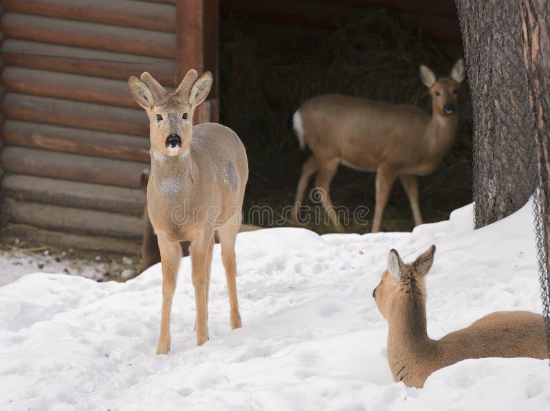 Trois cerfs communs d'OEUFS DE POISSON sibériens sur la neige images libres de droits