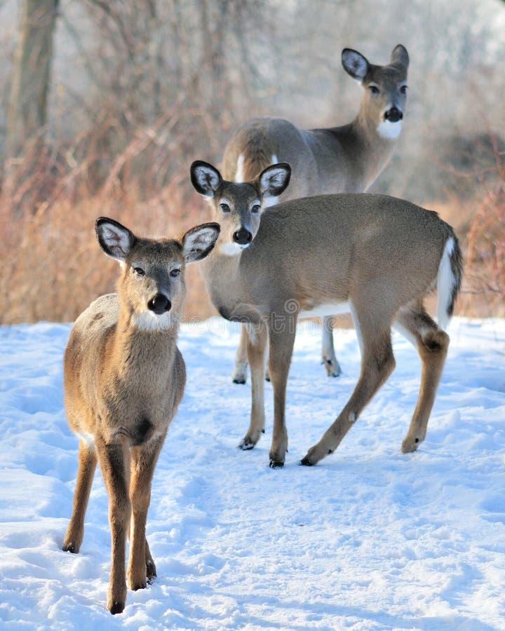 Trois cerfs communs de Whitetail photo stock