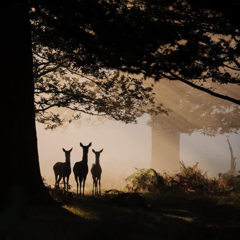 Trois cerfs communs en silhouette photo libre de droits