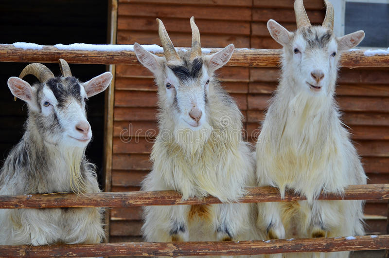Trois chèvres photos stock