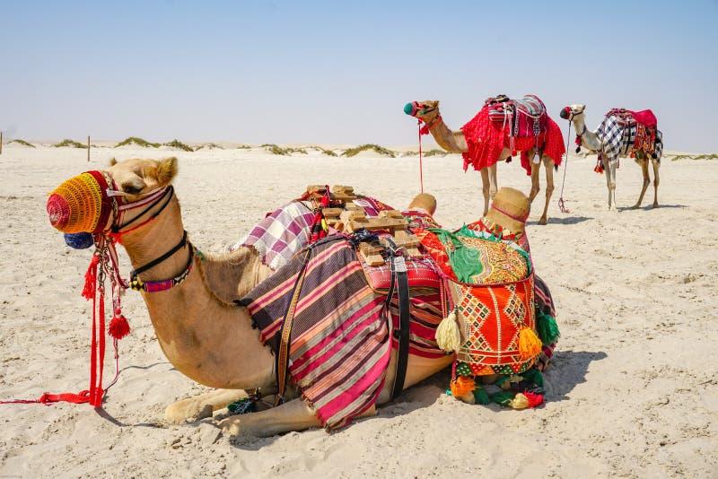 Trois chameaux colorés sur le désert image stock