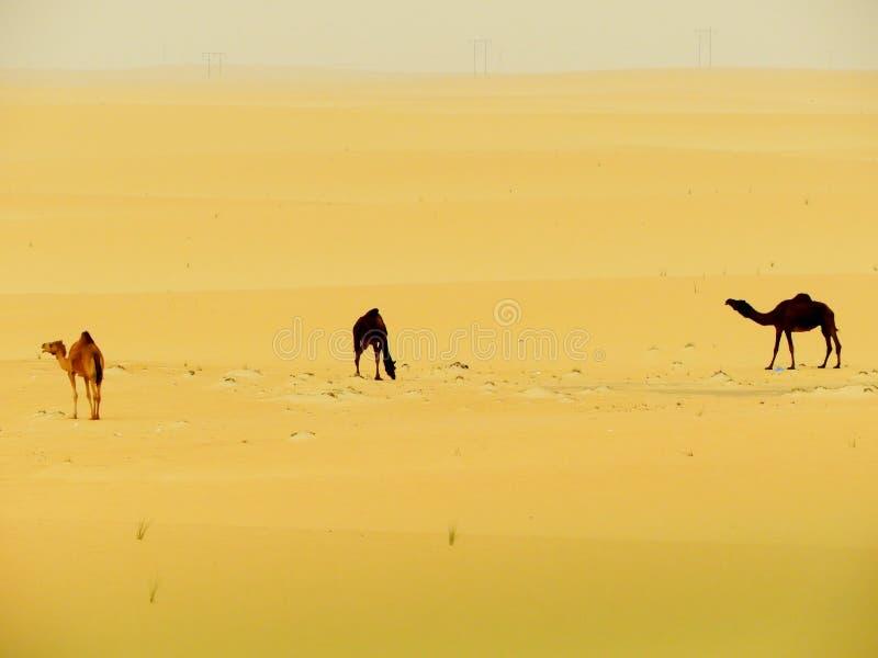 Trois chameaux dans le désert photos stock