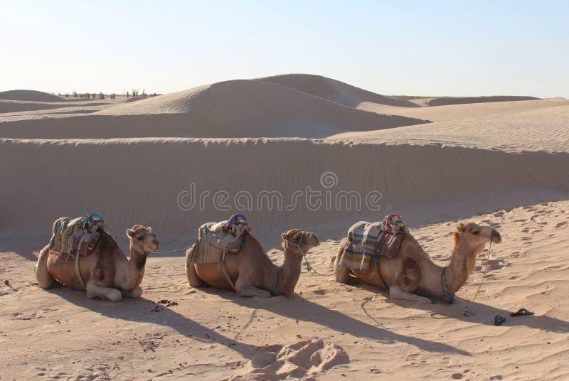 Trois chameaux dans le désert photo stock