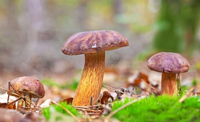 Trois champignons automnaux dans la forêt image libre de droits
