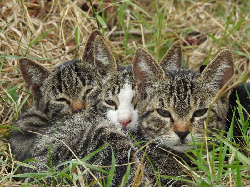 Trois chatons à table images libres de droits