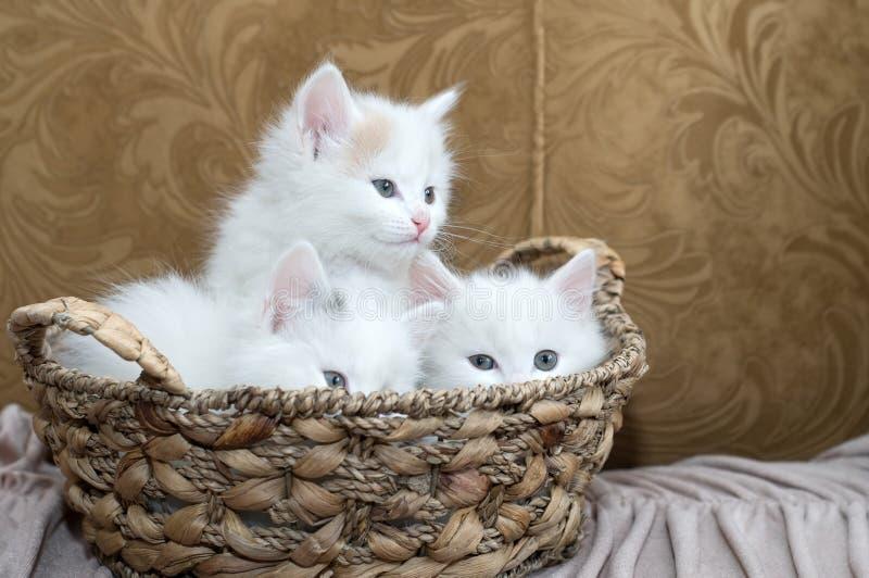 Trois chatons photo libre de droits