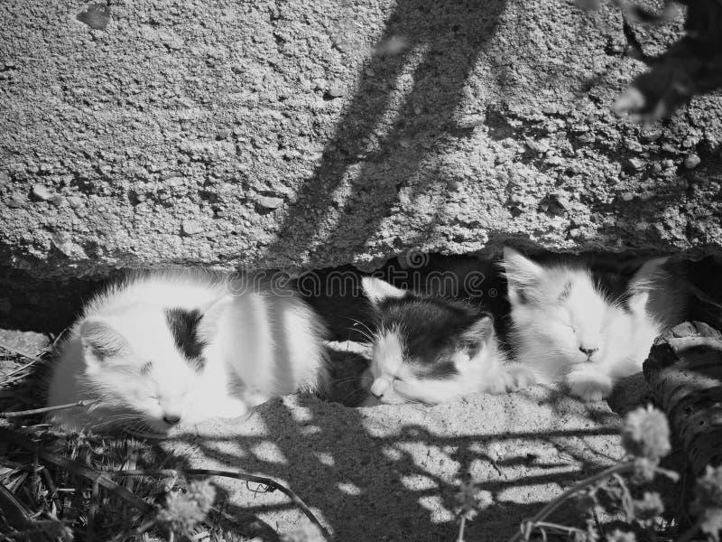 Trois chatons les prenant un bain de soleil en noir et blanc image stock