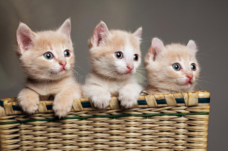 Trois chatons rouges photo stock