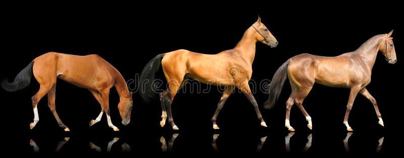 Trois chevaux d'akhal-teke d'isolement sur le noir photos libres de droits