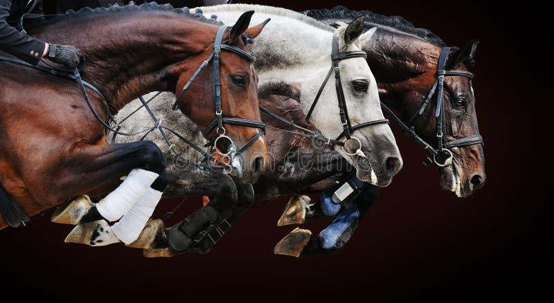 Trois chevaux dans l'exposition sautante, sur le fond brun photographie stock libre de droits