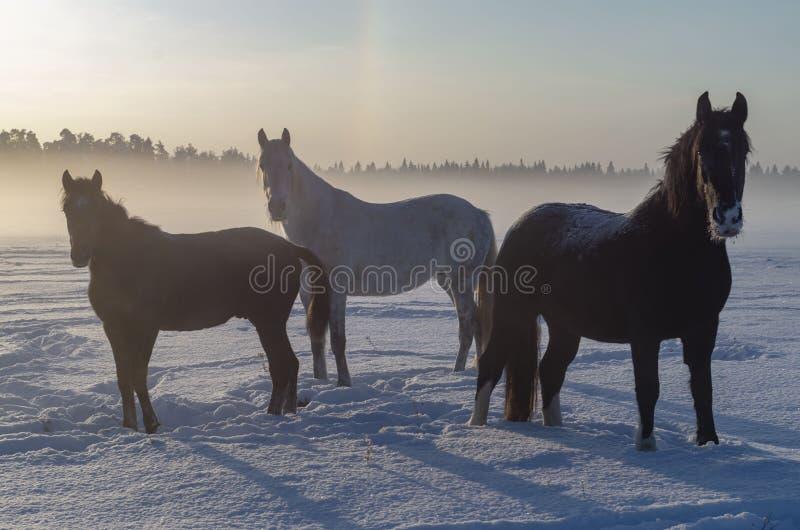 Trois chevaux dans le brouillard d'hiver Un jour du nord court photo libre de droits