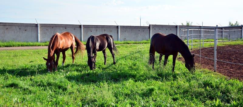 Trois chevaux frôlent sur l'herbe verte photos stock