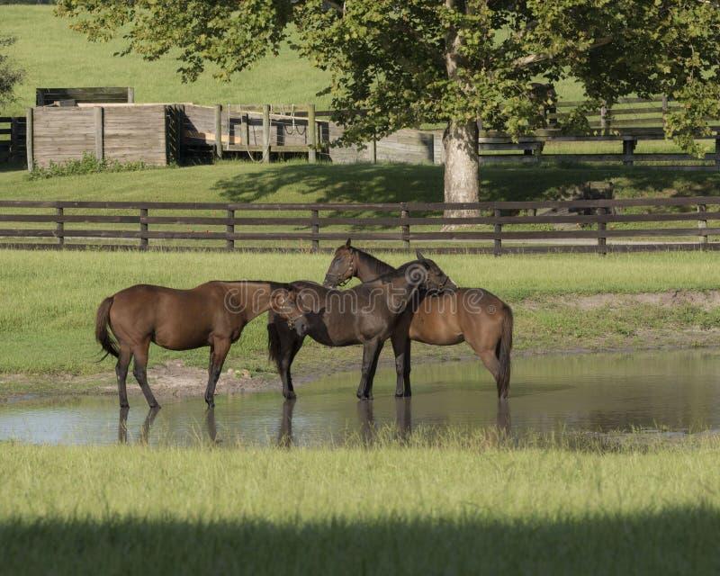 Trois chevaux jouant dans l'étang photos libres de droits