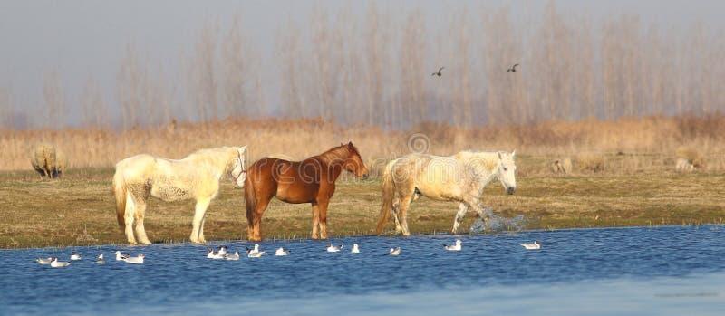 Trois chevaux sauvages sur l'endroit d'arrosage photographie stock libre de droits