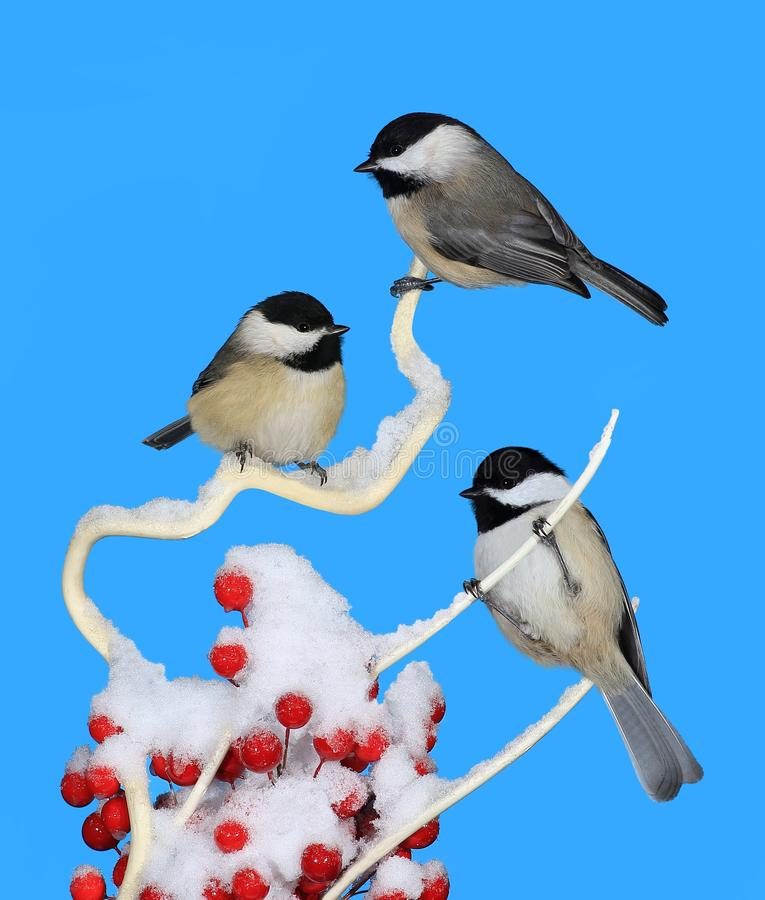Trois chickadees couverts noirs d'hiver photo stock