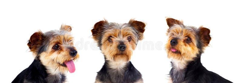 Trois chiens égaux image stock