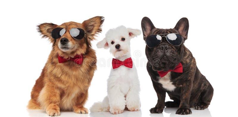 Trois chiens élégants de différentes races portant les lunettes de soleil et la BO images libres de droits