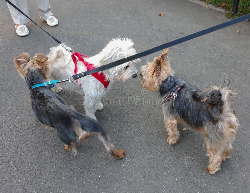 Trois chiens avec la lie croisée photographie stock libre de droits