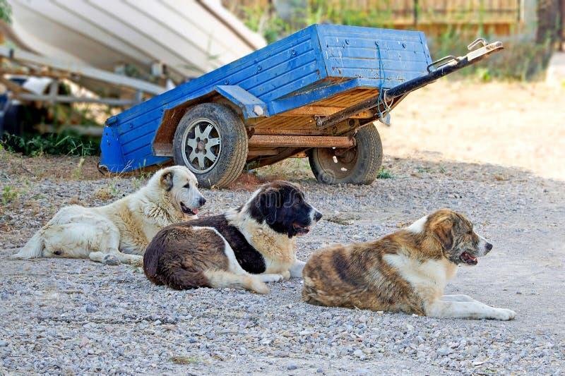 Trois chiens dans une rangée se reposent et gardent images libres de droits