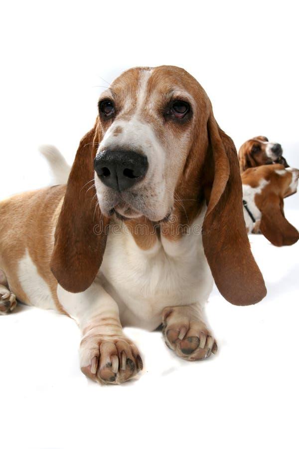Trois chiens de basset avec l'avant un à l'orientation image libre de droits