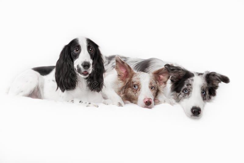 Trois chiens ensemble Deux races border collie de chien photo libre de droits