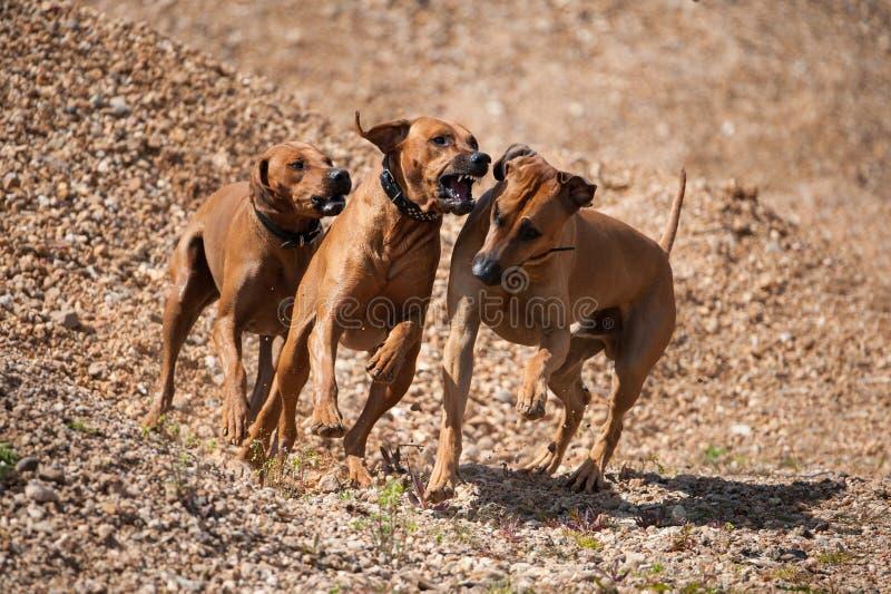 Trois chiens rodesian fonctionnants de ridgeback photos libres de droits