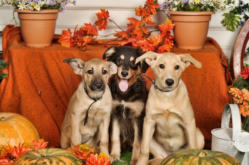 Trois chiots avec des potirons photo stock