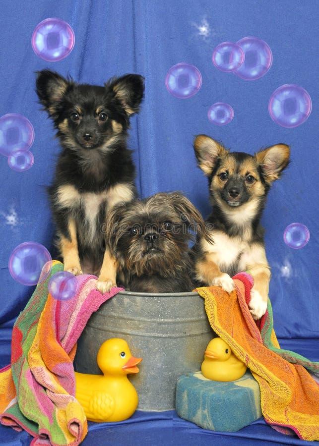 Trois chiots dans un baquet photo stock