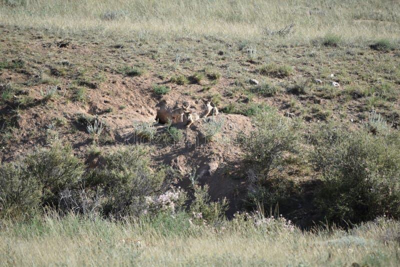Trois 3 chiots de coyote photos stock
