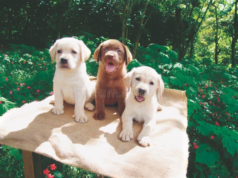 Trois chiots de Labrador images libres de droits