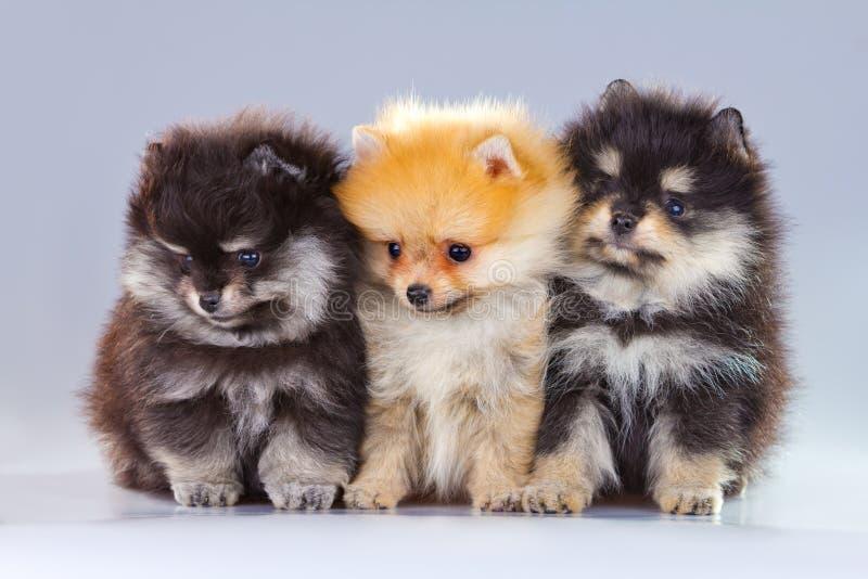 Trois chiots de Pomeranian photographie stock libre de droits