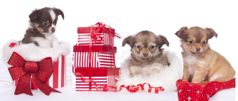 Trois chiots mignons de chiwawa avec le cadeau de Noël photographie stock libre de droits
