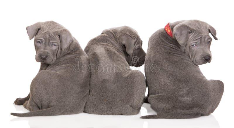 Trois chiots thaïlandais de ridgeback se reposant avec leurs dos à l'appareil-photo image stock