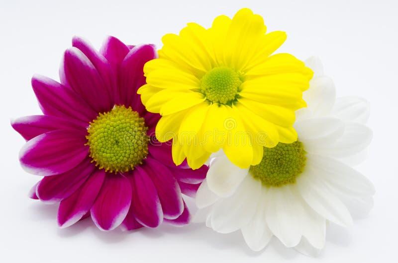 Trois chrysanthemums photographie stock libre de droits
