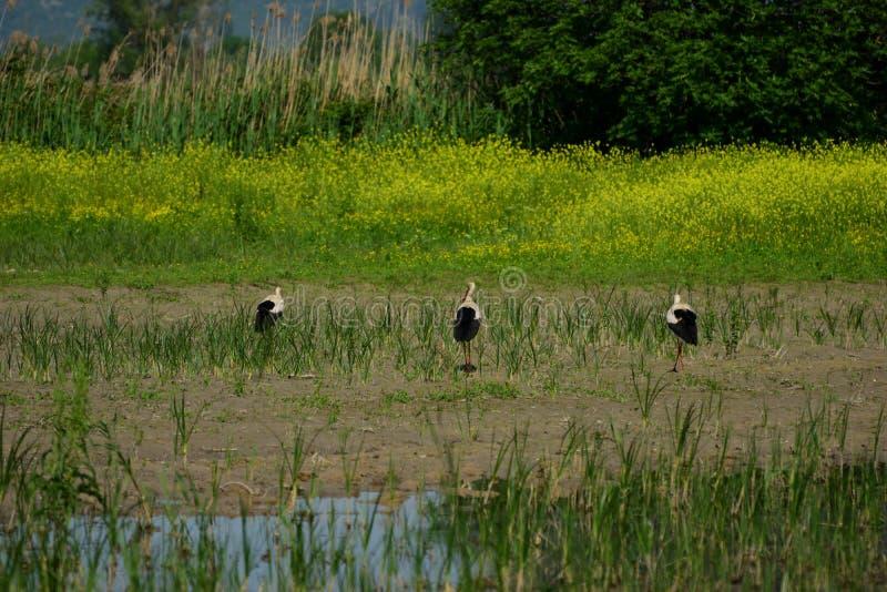 Trois cigognes blanches à la réservation d'oiseau de Hutovo Blato photos libres de droits