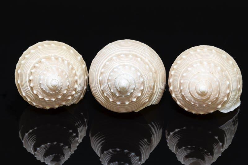 Download Trois Coquilles De Mer D'escargot Marin Sur Le Fond Noir Image stock - Image du objet, océan: 87709623