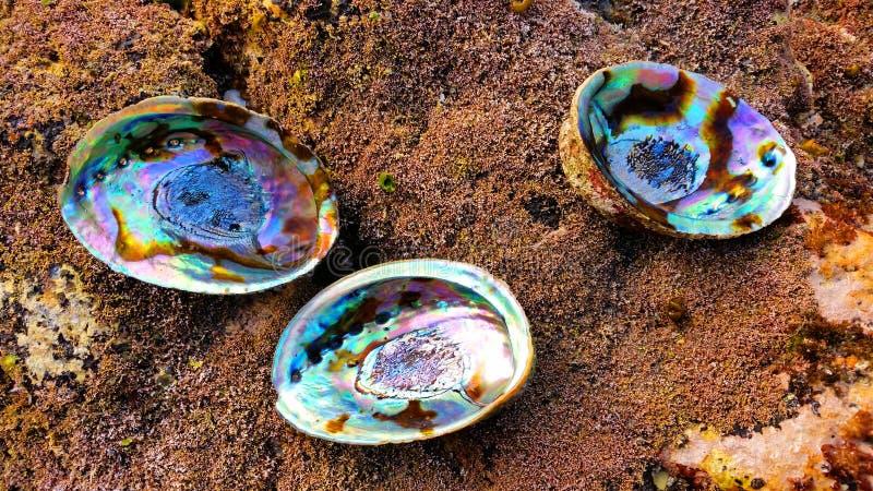 Trois coquilles de Paua photo stock