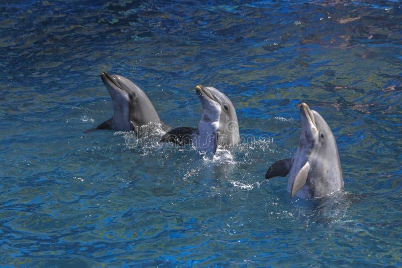 Trois dauphins exécutant dans la piscine images stock