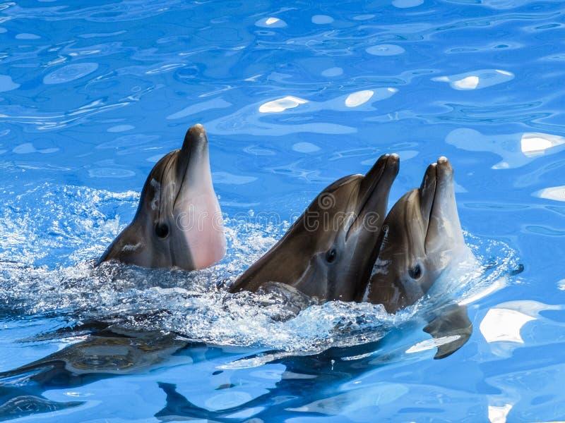 Trois dauphins nagent l'un après l'autre image libre de droits