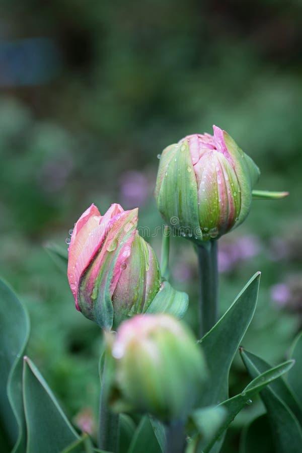 Trois double rose hérissé Tulip After la pluie images libres de droits