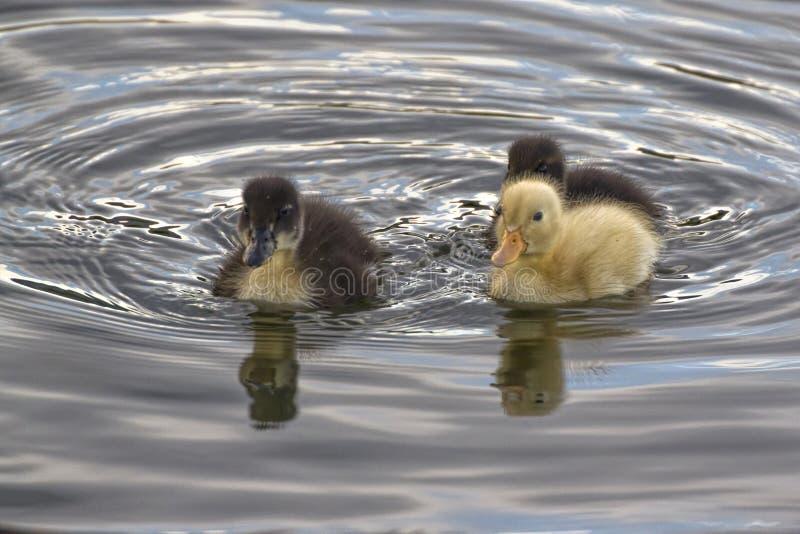 Trois Duck Amigos image stock