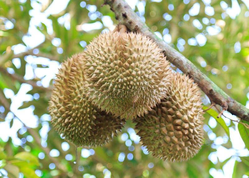 Trois durians dans le jardin images libres de droits
