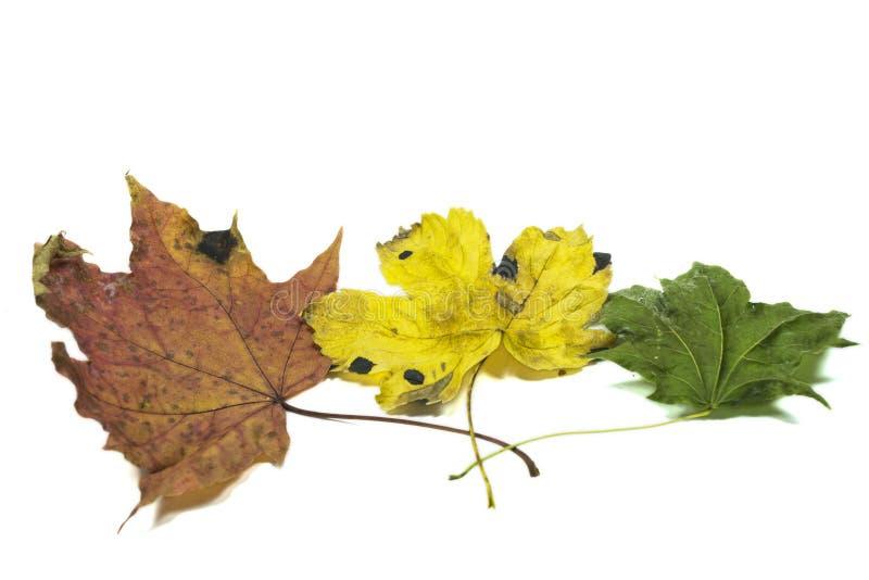 Trois feuilles d'automne photos stock