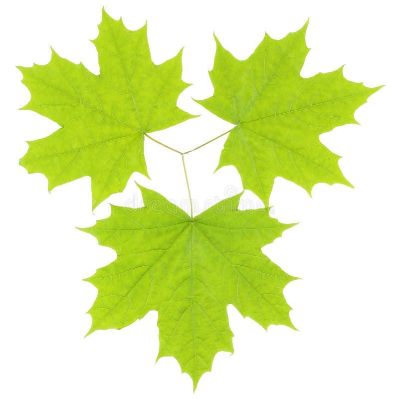 Trois feuilles vertes d'érable sur un fond blanc image stock
