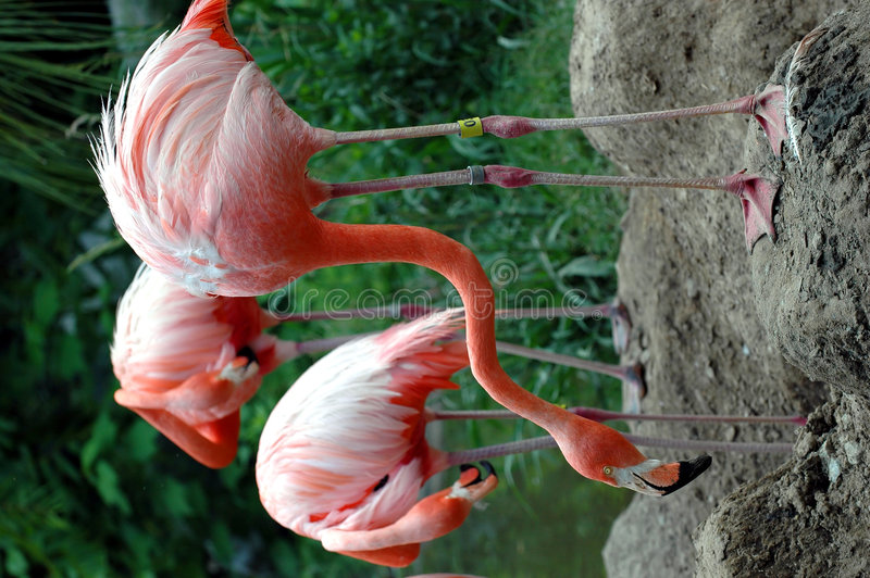 Trois flamants roses photos libres de droits