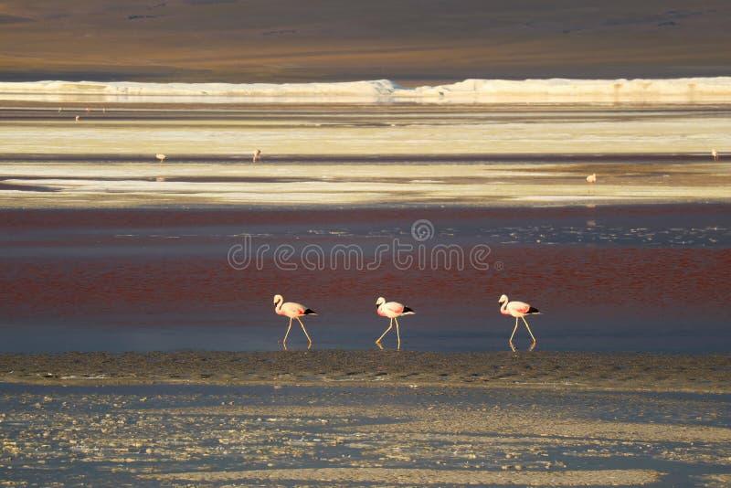 Trois flamants roses de marche avec beaucoup d'autres dans la distance, Laguna Colorada, Bolivien Altiplano, département de Potos photos libres de droits