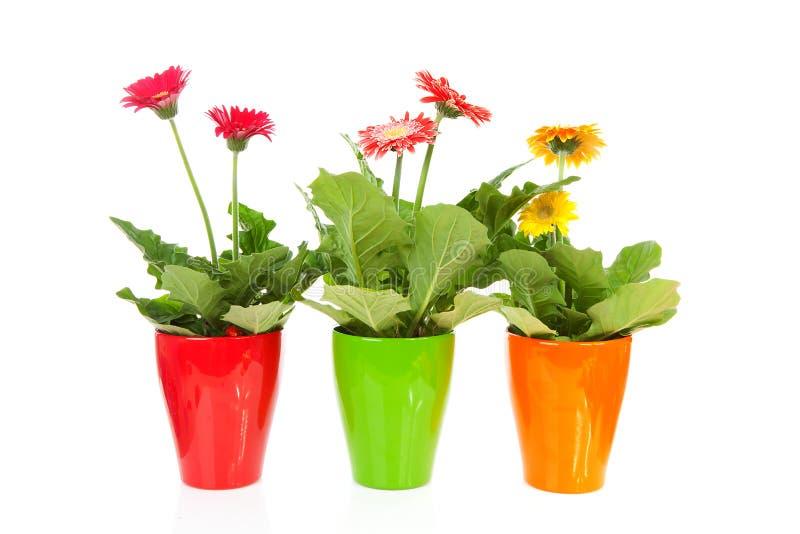 Trois fleurs colorées de Gerber dans le bac images libres de droits