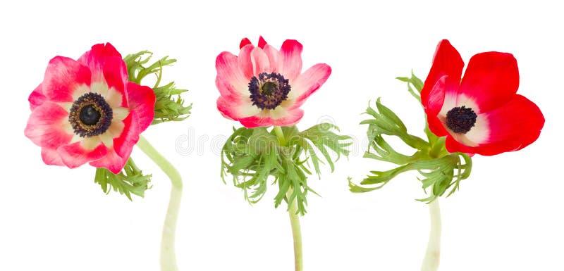 Trois fleurs d'anémone photo libre de droits