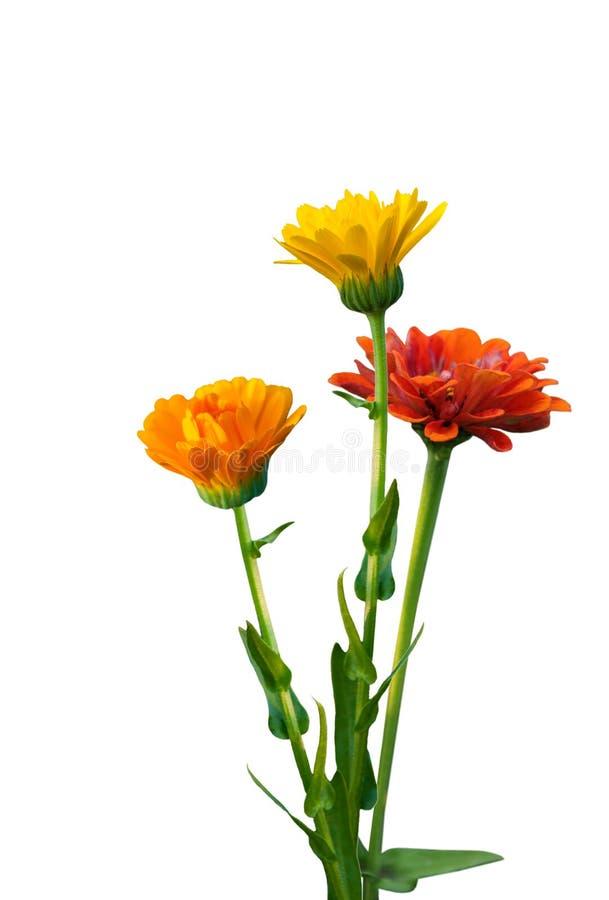 Trois fleurs d'Immortelle photo libre de droits